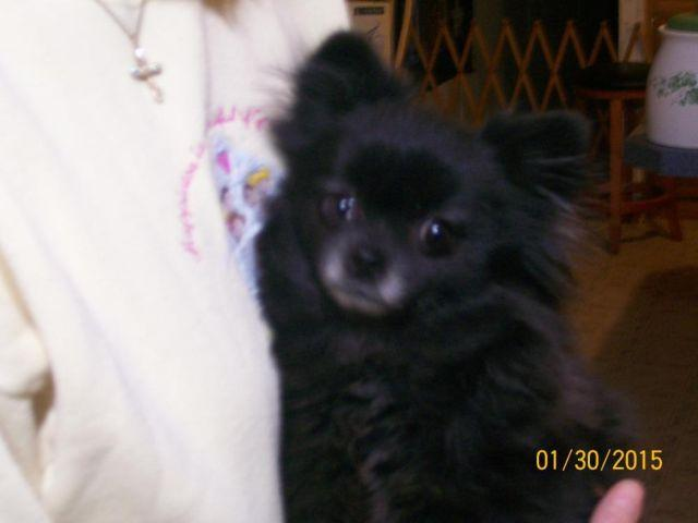 TOY POMERANIAN FEMALE