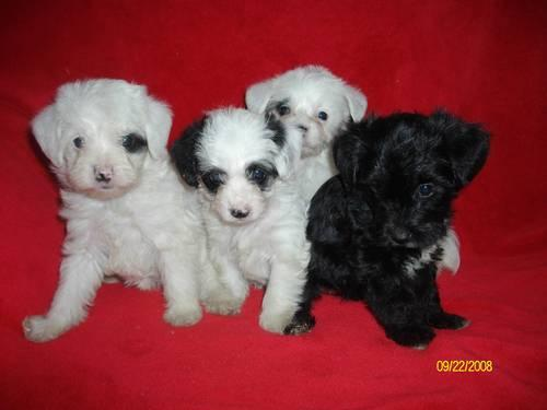 Yorkie-poo puppies  no-shed cuties! **NEW PICS! in
