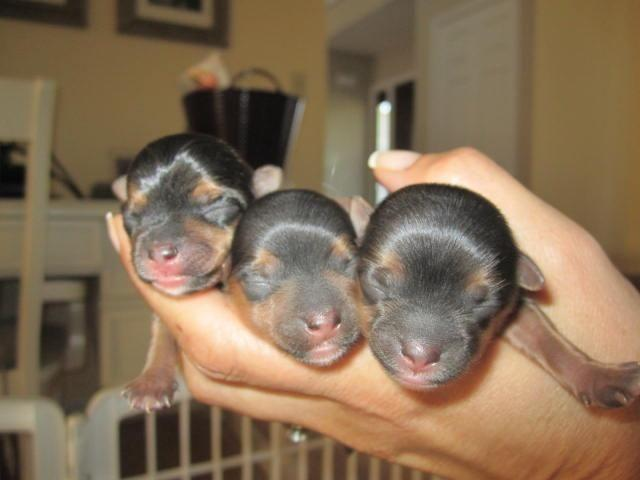 Yorkie Puppies AKC registered