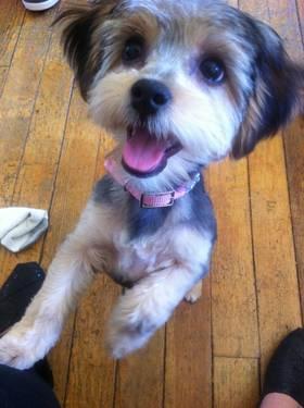 Yorkshire Terrier/Lhasa Apso Mix in Spokane, Washington ...