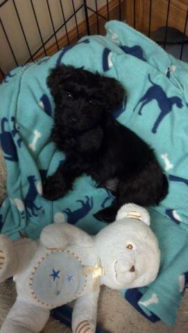 Yorky Poo puppy