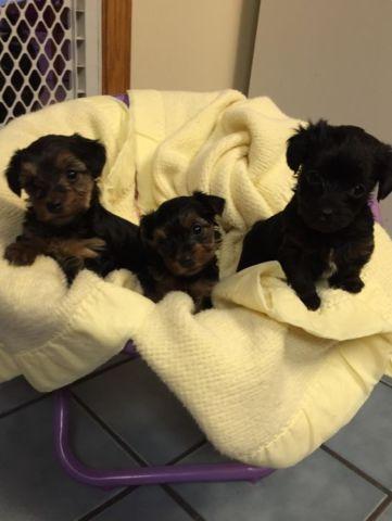 Yorkypoo puppies