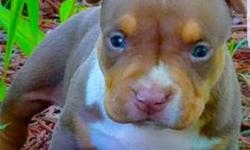 Beautiful male chocolate tri w/ great bone & pedigree. Only serious buyers reply. Contact: Hassan 347-364-7612