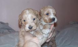 1st generation adorables ,, these are 2 male puppies ... deposit is the way to get yours held or chance later... tials dew claws shots started health certificates from vet weekly dewormed house raised .. highest sought American family favorite hybrid! 200