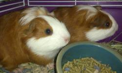 2 males guinea pigs they were born on April 13, 2013. I'm charging a rehoming fee of $15. They do not come with a cage. I'm located in utica, NY. They are half American and Peruvian. This means they might have slightly longer hair.