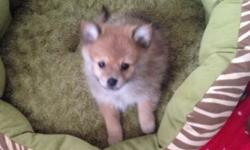 I have 2 purebred pomeranian puppies available. One male and one female. They do not have papers. They were born on Christmas Eve and are currently 12 weeks old. They've had all of their vaccinations at this point except for rabies. They've been dewormed