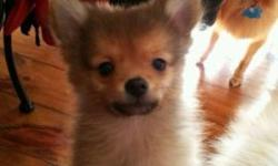I still have 2 pure pomeranian puppies available. (Without papers) they were born on Christmas Eve. Since they've been with me longer than their siblings, they've finished their puppy shots and deworming. They only need their rabies shot now. They have