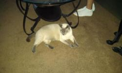 2 Siamese kittens blue points. They are brothers and must go together. They are nurterd and dew claws front and back. They are 14 month old. For further info please call or text before 9pm 607-427-0207.