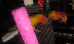 Re-homing two beautiful Sun Conures very attached to each other, not sure what gender they are. Will not separate them. Like to be out of cage. Semi friendly. Re-homing together for $375 firm, cage not included. Please no breeders. Thank you.