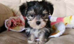 These pretty little Morkies are 7 weeks old and love to play. Their mother is a tiny purebred Yorkie and the father is a purebred Maltese. They have been vet checked, vaccinated and dewormed. 3 males, $500 each. Ready for new homes on July 5