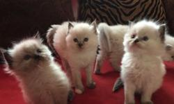 We have 4 adorable little kittens that all love to play. We have 2 boys and 2 girls that are one month old. All the girls are blue points like their mom, one boy is mink point mitted and the other boy is mink point. They are purebred although they aren't