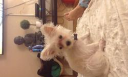 Beautiful teacup morkie looking for a forever home .she has vaccines . Email me if serious on buying her . I'm asking 2,000