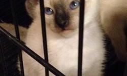 I have a litter of Siamese kittens, there are 3 males and 2 females, they were born on May 21st, 2016, there are seal points, a blue point and lilac point available If you have any questions feel free to contact me, i posted up some pictures of the