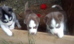 8 cute lovable purebred husky puppies in need of a loving home. 5 girls( 4 black and white and 1 brown) and 3 boys(2 brown and 1 black and white). They will be ready September 15th. They will have their first shots and deworming done. If interested, call