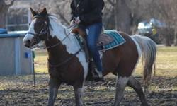 "For Sale: 9 year old double registered paint/pinto mare for sale. Sheza ""Ruby"" Moon, Sire is : Heza Music Man and Dam is : Play Me a Melody. Ruby is an awesome horse. Nice big broad stocky girl. 15.3 hands. Has had a lot of professional training. Trail"