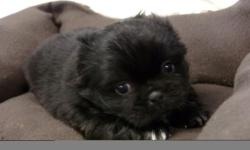 Pekingese Puppies available 3 Males and 1 Female available. Pups come with ACA Registration, 3 generation pedigree, They will be Vet Checked, with Health Certificate, will come with First Set of Shots and series of de-Worming. Also included is puppy kit,