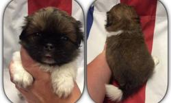 Purebred Pekingese Puppies available for deposit, Ready to go home on 8/20/16. 3 females/1 Male. Come with ACA registration, Vet check with health certificate, first set of shots and series of deworming. If interested please message me or go to my page: