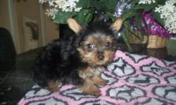 ACA Adelle gave birth on 4/15/14, she has 2 adorable tiny male pups. She was bred with a teacup AKC Male. Both parents are here for you to meet. Home raised with lots of love & attention. The teacup puppy Cody is charting to be 3-4 lb. adult. $900 and the