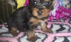 ACA Adelle gave birth on 4/15/14, she has 2 adorable tiny puppies males & I have 2 females super tiny for sale. She was bred with a teacup AKC Male. Both parents are here for you to meet. Home raised with lots of love & attention. The puppies are charting