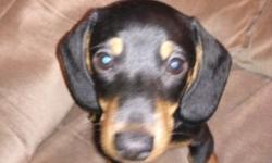 One black and tan male baby left !He is very lovable and a snuggler :) He is 11 weeks old and ready for a family to love !