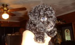 Here's 5 ACA Registered Purebred Miniature Poodle Puppies..We have three males and two females..8 weeks old.They've had their first shots and been wormed twice..Smart and healthy,they're on solid(puppy chow)food already..most are black w/small white