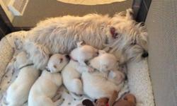 ACA Shih Tzu Puppies, 3 Males and 1 Female puppies available. Pups come with ACA Registration, 4 Generation Pedigree, Will be Vet Checked, with Health Certificate, First Set of puppy Shots, series of de-Worming, Also included is puppy kit, with Starter