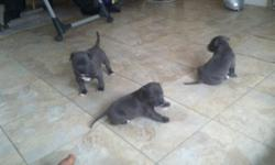 UPDATE*** APBT puppies. ADBA REGISTERED.. Paperwork available at pickup. Puppies have had 8 & 10 wk shots and deworming. One tan girl, one red girl & one tan boy left. Great temperment... They have spent a lot of time around kids. Pictures and pedigrees