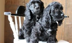 Adorable, ACA Registered COCKER SPANIEL Puppies Born on September 6, Ready to go to their forever homes 1 Male, 1 Female Parents on Premises ACA, Pure Bred, Vet Checked, Tails Docked, Dewormed, First Shots Family Raised in the country with our 3 kids.