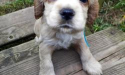 Absolutely beautiful cocker spaniel babies are ready to go just in time for Christmas :) They are 8 weeks old now, so ready for new homes. There are 4 boys & 1 girl still available. The puppies are buff and cream in color. Mommy is a buff & white AKC &