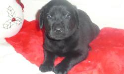 AKC Lab Puppies. Yellow or Black. Male and Female. Both parents are part of our family and live in our home. Our puppies are well socialized, are used to loud noises, being handled and being touched. They will be ready to go home with you for Christmas,