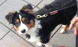 We're looking for a new home for our six-month-old mini Aussie puppy. Unfortunately, my husband is allergic and we can't take care of him :( Ideally looking for a great home with enough space for him to play (a yard would be great). Our puppy would do