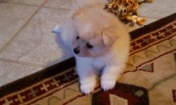 Very sweet adorable Male AKC Pomeranian Puppies. Both Parents on premise. Vet checked, first shots and wormed. Raised with young children. Extremely friendly and smart. $650. Please call or text 585-748-5738