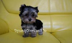 Meet Tiny Vin! This super funny, cute and adorable baby boy yorkie is looking for his forever parents. He is only 1.6lbs at 10 weeks of age. He has a tedybear face, super short legs, short muzzle, tiny ears, amazing coat and personality plus. Vin is not a