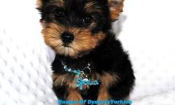 Meet Romeo! This baby boy Yorkie is pure love. He is super sweet. I call him my love bug. Romeo is available now. He comes to you with a 1 year health guarantee, up to date on vaccinations according to his age, Neuter contract and more. Romeo is a full