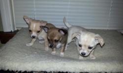 8 week old Chihuahua puppies. All females, ready just in time for Christmas!!! They all come with first shots, wormed, and vet checked! 1 Light Dapple, or Hidden Merle, White and Cream colored. 1 Brown and White w/some black accents. 1 Very small Tan and