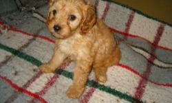 Adorable Cavapoo puppies born June 27, ready at 8 weeks, wormed and with first shots, three little boys and one darling little girl. Puppies are apricot and honey color, with wavy coats, natural tails and soft eyes to melt your heart. Very, very cute!