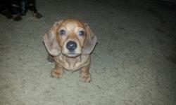 CKC registered adorable male red dapple mini doxie pup- last one! Very sweet and spoiled little boy! He has been raised in our home with children. He is up to date on shots and wormings and has been vet checked. $400 Will Meet. Call 607-693-1779 or text