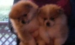I have the last two adorable male poms ready for your home. Both are 10 weeks old and wormed. Both parents are CKC. Both are very friendly, playful, and loveable. They should mature to about 10 pounds. Pomeranians are excellent with kids, very loyal, and