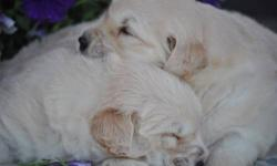Adorable, fluffy Golden Retriever puppies for sale. AKC registerable, shots, wormed, parents on premises, only male pups available, 8 weeks old and ready for loving, forever homes! Hurry only 2 left!!!!!