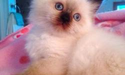 Selling my himalayan kittens. They are SO adorable! I only have two males left. They are loving, friendly and ready to go to a loving home. If you would like one of these precious kittens please contact me at 6077687787. Thanks :)
