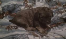 We have 5 adorable second generation Lhasa Poo Puppies. They will be ready on December 23rd 2012. Their are 2 females (Brindle colored and the black puppy). The 2 tan puppies and the puppy with white on the paws are males. Males are $200 and the females