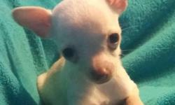 Adorable little Chihuahua puppy looking for a new home. She is 10 weeks old yesterday - DOB 8/13/14 She weighs 19 ounces.Has had her first shots. She is used to other dogs and cats, and has been people socialized since birth.
