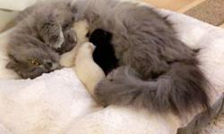 My Persian cat just gave birth to Himalayan kittens and I will be selling them only after August 31st 2016 once they have completed 8 weeks. I will be able to reserve them to serious buyers only. There is one white cat which is female, one cream cat which
