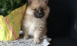 We have Beautiful Pomeranian puppies ready for their new homes now!!! They are vet checked and in great health. These puppies were born and raised inside and are very well socialized. You will get a health certificate from the vet, a written 1 year health