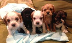 5 males available! will be ready to go september 30th! UP to date on shots, de wormings and vet checked Parents on premises. Mother is a Cocker Spaniel & Father is a Cavalier Spaniel