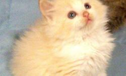 We have several beautiful ragdoll kittens to choose from. They are raised in our home and are very sweet. They come with a 1 yr guarantee. We have traditionals for $750 and minks for $850 We are looking for loving families for our precious babies. They