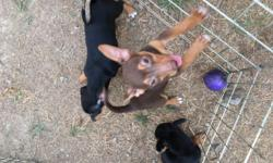 Two female, one male. Teddie Roosevelt, mixed with Corgi and Manchester Terrier. Ready to go to their forever families. They are 10-11 weeks old and have 2 sets of shots. They are NOT finished with vaccinations. They will need to be spayed/neutered at