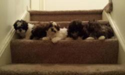 Adorable hypoallergenic shih poo puppies- 5 total. 4 females (1)white w/ brown and blk. Markings, (1)white w/blk. Markings, (2) brindle. 1 male brindle. Vet checked with 1st set of shots. Great family dogs. Approximate weight full size is up to 15 lbs.