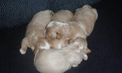 We have a new litter of beautiful Shihpoo puppies. The mother is a pure bred Shihtzu, the father, a pure bred red miniature poodle, both are also our house pets. We have three boys, one girl. The puppies will come with their first shots, will be vet