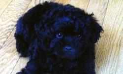 Email us to meet this adorable puppy! Orange County - Goshen area NY- Home rasied Vet Checked with first Vaccinations. This ShihPoo puppy was born on June 7th 2013. He is an all black male. He has been around children since birth. He is playful and
